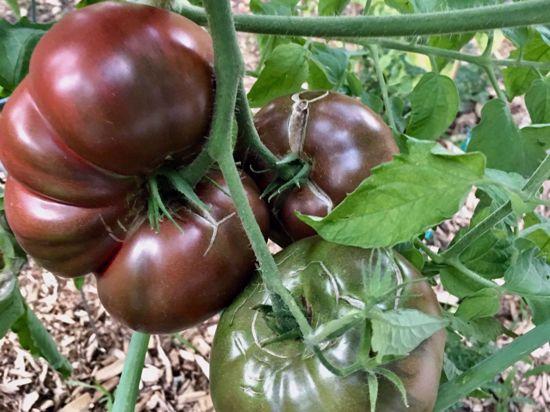 Picture of Heirloom tomato-Cherokee Purple