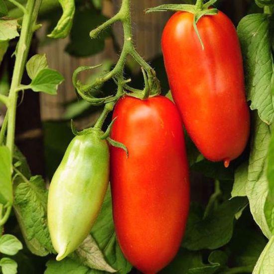 Picture of Heirloom tomato-San Marzano