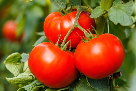 Picture of Hybrid Tomato-Better Boy
