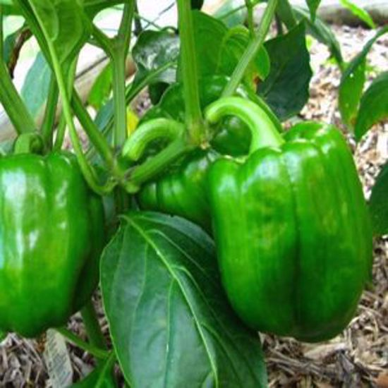 Picture of Sweet Pepper-California Wonder Bell Pepper
