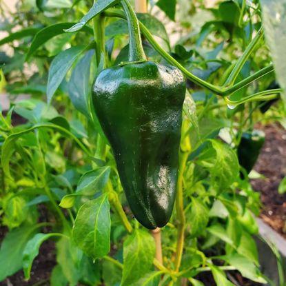 Picture of Mild Pepper-Poblano